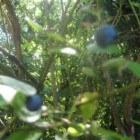 De blauwe bes en de invloed op aften