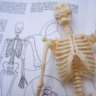 Invloed van parathormoon op botafbraak en osteoporose
