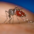 Chikungunya-virus: besmettelijk, symptomen en behandeling