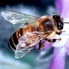 Bijensteek behandelen: hoe een bijensteek verzorgen?