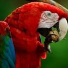 Psittacose: Infectie (ziekte) door besmetting vogels