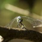 Ziekte van Chagas: Infectieziekte door beet van parasiet
