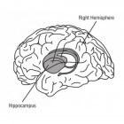 Hippocampus: een klein onderdeel van onze hersenen