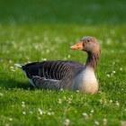 Vogelgriep: Griepachtige en longgerelateerde symptomen