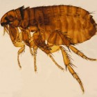 Vlooienbeten: Kenmerken van vlo en symptomen van vlooienbeet