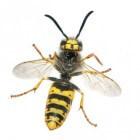 Wespensteek: symptomen en behandeling wespensteken