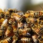 Bijensteek: Symptomen en behandeling van bijensteken