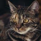 Kattenallergie: Symptomen door huidschilfers van kat