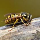 Wespensteek: Oorzaken, symptomen, behandeling en preventie