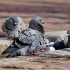 Soorten infecties bij mensen overgedragen door vogels