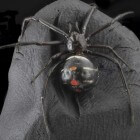 Beet van een zwarte weduwe-spin: Symptomen en behandeling