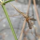 Door muggen overgedragen ziekten: Infectie door muggenbeet