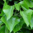 Gifsumak: Symptomen van blootstelling aan urushiol van plant