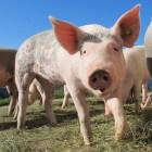 Symptomen varkensgriep en verschil met de Mexicaanse griep