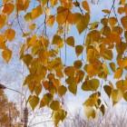 Vochtophoping, reuma, jicht: neem berkenbladthee of –extract