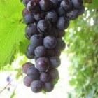 Druivenpitextract: bestrijd kanker en gevolgen veroudering!