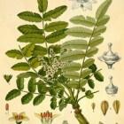 Boswellia, een kruid dat werkt tegen (chron.) ontstekingen