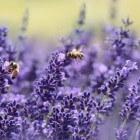 Voordelen van lavendelolie