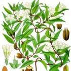 Gelsemium: gebruik in de alternatieve geneeskunde