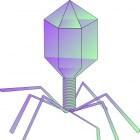 Bacteriofagen beter dan antibioticakuur bij resistentie