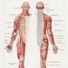 Olmkruid voor ontspanning van de spieren
