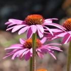 Griep voorkomen met echinacea