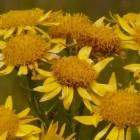 Plantaardig homeopathisch middel: Anacardium/Arnica
