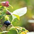 Plantaardig homeopathisch middel: Artemisia Cina/Belladonna