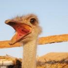 De wonderlijke werking van emoe olie
