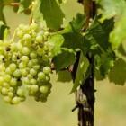 Dieet en druiven, zijn druiven gezond of ongezond?