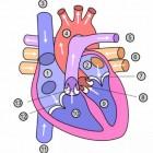 De ingenieuze werking van het hart