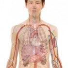 Waar zit je lever, waar zit je hart, milt en andere organen?