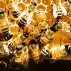 Honing voor medicinaal gebruik
