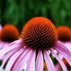 Echinacea (zonnehoed): gezondheidsvoordelen en gebruik