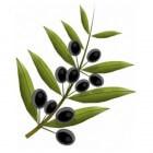 Olijfblad of olijfbladextract voor je gezondheid