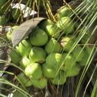 Kokosnoot, een vrucht met geneeskracht