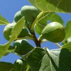 Vijg, een vrucht met medicinale eigenschappen