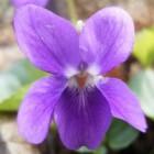 De geneeskracht van maarts viooltje