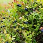 De geneeskracht van blauwe bosbes