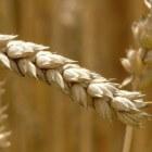 De geneeskracht van tarwekiemolie
