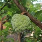 De geneeskracht van cherimoya