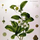 Camellia, thee in soorten