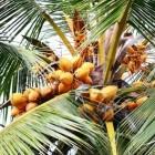 Hoe gezond is kokosolie?