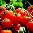 Hoe gezond is tomaat?