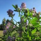 Hoe gezond is alfalfa en hoe pas je het toe?