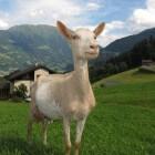 Hoe gezond is geitenmelk als alternatief voor koemelk?
