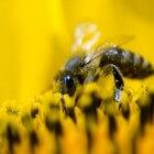 Bijenpollen zijn supergezond
