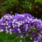 De onbekende plant: Lamsoor