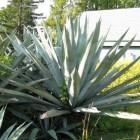 De geneeskracht van agave