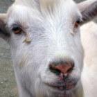 Babymelk op basis van geitenmelk: Nannycare, Kabrita, Biobim